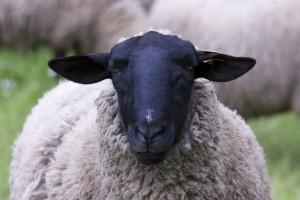 sheep-967316_640